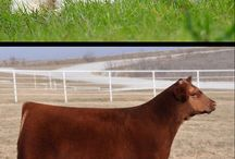 I need one / Fluffy cows