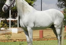 Our horses / Andalusian horses