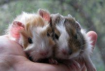 Guine pigs *-*