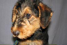 Satılık Airedale Terrier Yavruları / Satılık Airedale Terrier Yavruları http://terrier.yavruilani.com/