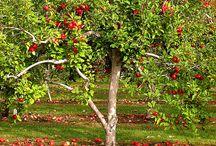 Fruit Trees / by Karen Henry Clark