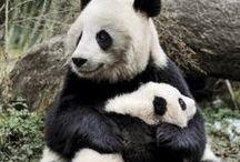 Wielkie pandy