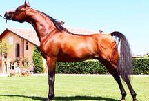 Tripodi Arabians / Horse