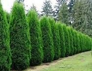 Privacy Trees / Everyone that live near busy streets or near nosy neighbors wants some type of fence. Why buy a wood one only to have it rot down in a few seasons. Opt for a living fence. You control how large it gets and have year round beauty & privacy.