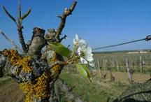 Bordeaux vineyard / Pictures of vines, vine buds, vine landscapes, vine grapes
