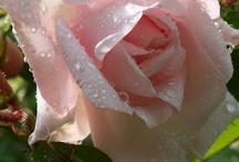 Roses / by Judith de Beer