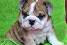 Bull Dogs / Great American Pet Photo Contest...1000$ Cash Price For The Winning Pet... Submit Your Pet Photos Here.... http://pet.pics-contest.com / by Pet Photo Contest
