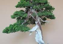 little tree (Bonsai)