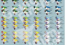 Gouldian Finch Poster