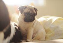 // pugs&frenchbuldogs //