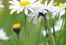 Love the Daisy / by Judy Fellows