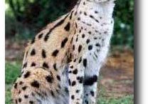 Servals and Savannahs