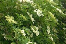 Elderflower & Elderberries / ❤️