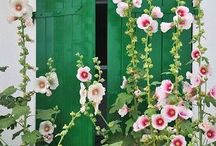 Pink hollyhocks / Tall pink flowers