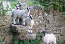 Ovelhas,cabritos...