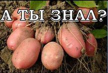Огород. Картофель.