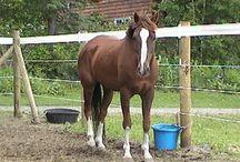 Лошади породы квараб (Quarab) / Название породы отражает ее происхождение: Quarab = Quarter Horse + Arabian Horse.  Полученная в результате такого скрещивания порода сочетает в себе спринтерские качества и проводимость квотерхорсов с выносливостью арабских лошадей.