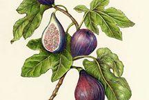 Wendy Hollender / Botanical artist