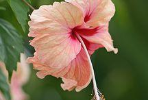 HIBISCUS / HIBISCUS FLOWERS