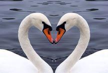 fondos de pantalla de cisnes