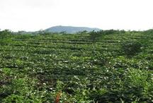 China Tea Farms / by International Tea Farms Alliance