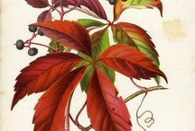 Virginia Creeper / Villiviini