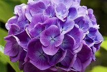 Hydrangeas / by Meryl Gallagher King