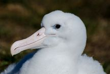 Royal Albatross / Royal Albatross colony at Taiaroa Head. The world's only mainland breeding colony of Royal Albatross.