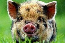 ❤️ Pig ❤️