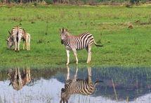 Swaziland / Ce petit pays est souvent mal connu mérite pourtant une halte. Passage quasi obligatoire pour rejoindre le Kwazulu Nathal depuis le parc Kruger, c'est un royaume qui sait se faire enchanteur...