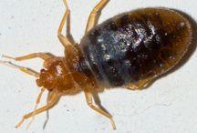 Bedbugs and Bed Bug Control