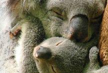 Äiti ja lapsi Koala