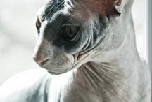 sfinx