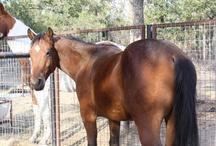 Horses!  / Horses for sale by TnT Ranch www.Cowboy4Sale.com