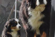 animeaux chiens