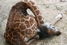 for-the-love-of-giraffes
