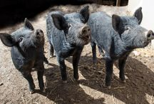 Mulefoot pig / by jane mary