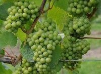 Vineyard Resources