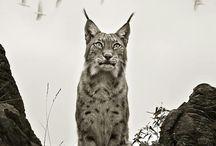 Animais Ibéricos / Animais da Ibérica. Todos os animais que vivem, viveram ou foram documentados na península ibérica.