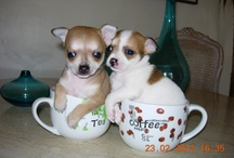 Chihuahuas / Pictures of Chihuahuas of the World !!
