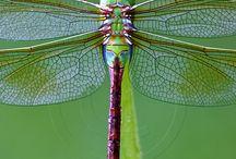 Simple libélula