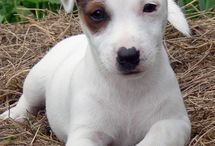 Sweet Jack Russell my Baby