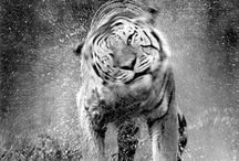 Tigres ♥.♥