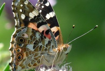 I love butterflies / I love to photograph butterflies, and these are mine.