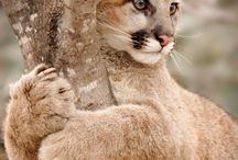 Nature Photography Puma