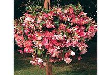 Pendula/Cane-type begonias / Cane Type and pendula begonias for nursery
