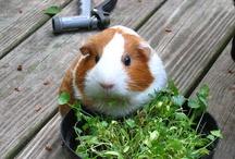 guineapig food