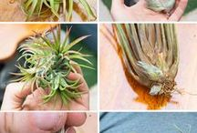 air plants care
