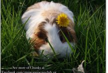 Piggie Spirit / Anyone who follows me is welcome to join this board; pin anything guinea pig!