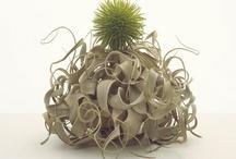 Aerium / Air Plants